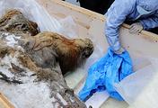 Останки мамонтенка найденные в Усть-Янском улусе республики Саха (Якутия)