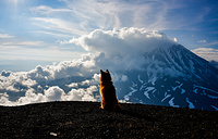 A dog looking over Koryaksky active volcano, Russia, August 12