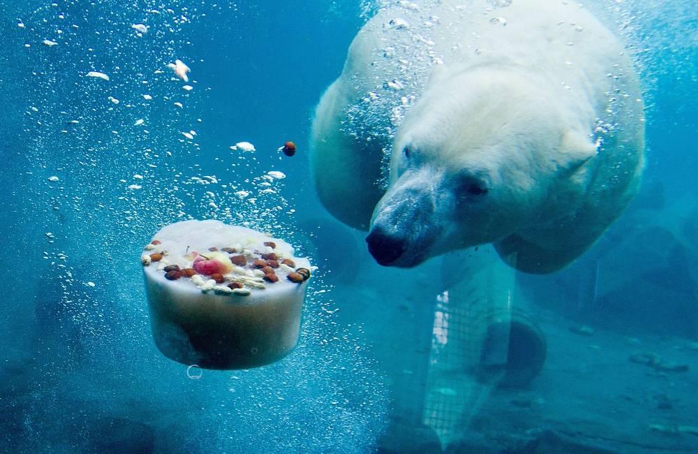 "Their scientific name means ""maritime bear"""