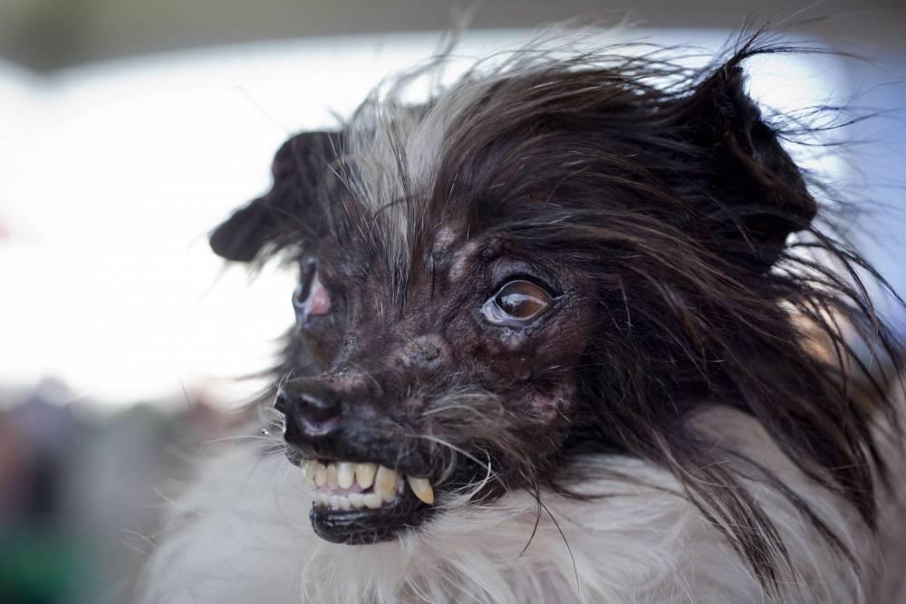 Peanut, winner of the annual 2014 World's Ugliest Dog Contest at the Sonoma-Marin Fair in Petaluma, California, USA