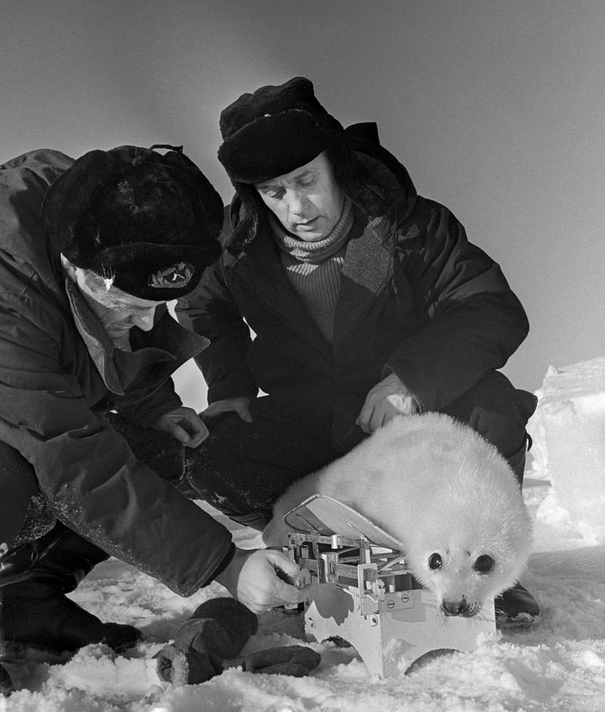 Scientists of the Toros-1 Polar expedition weighing a little seal, 1966