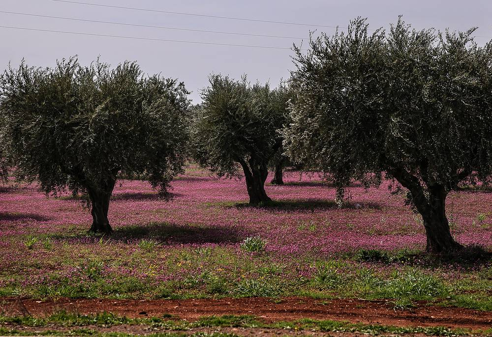 Olive trees near the town of Afrin
