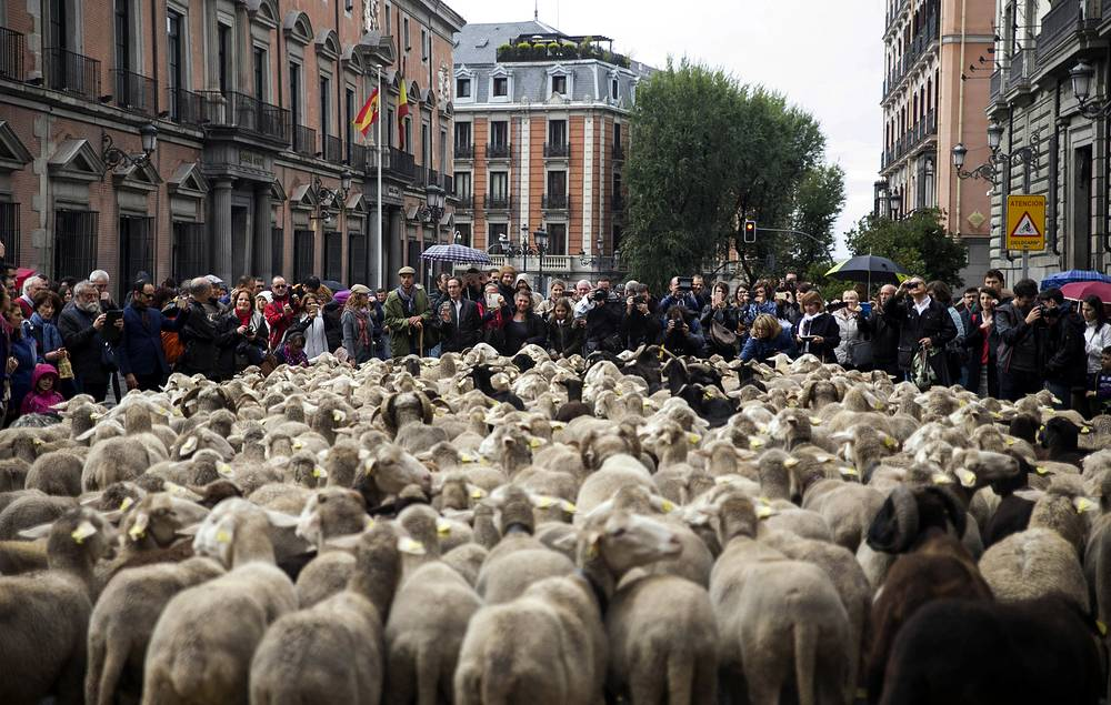 Hundreds of sheep are led by shepherds along a street in downtown Madrid, Spain, October 23