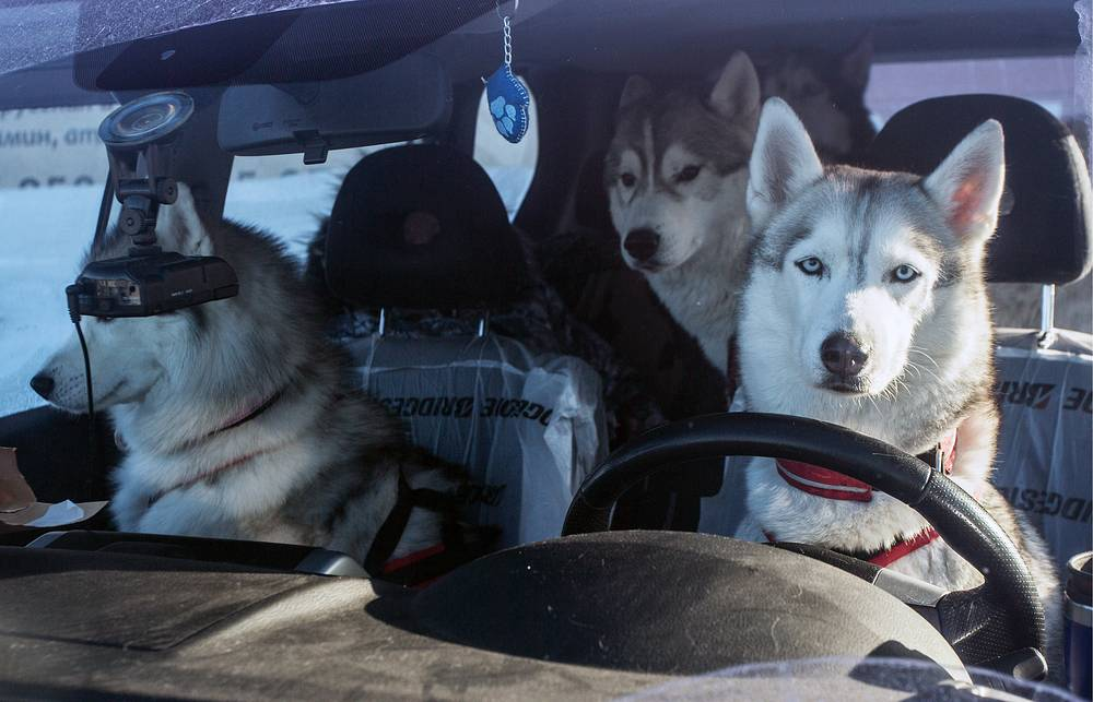 Husky dogs in a car ahead of a dog sled race in Omsk region, Russia, January 29