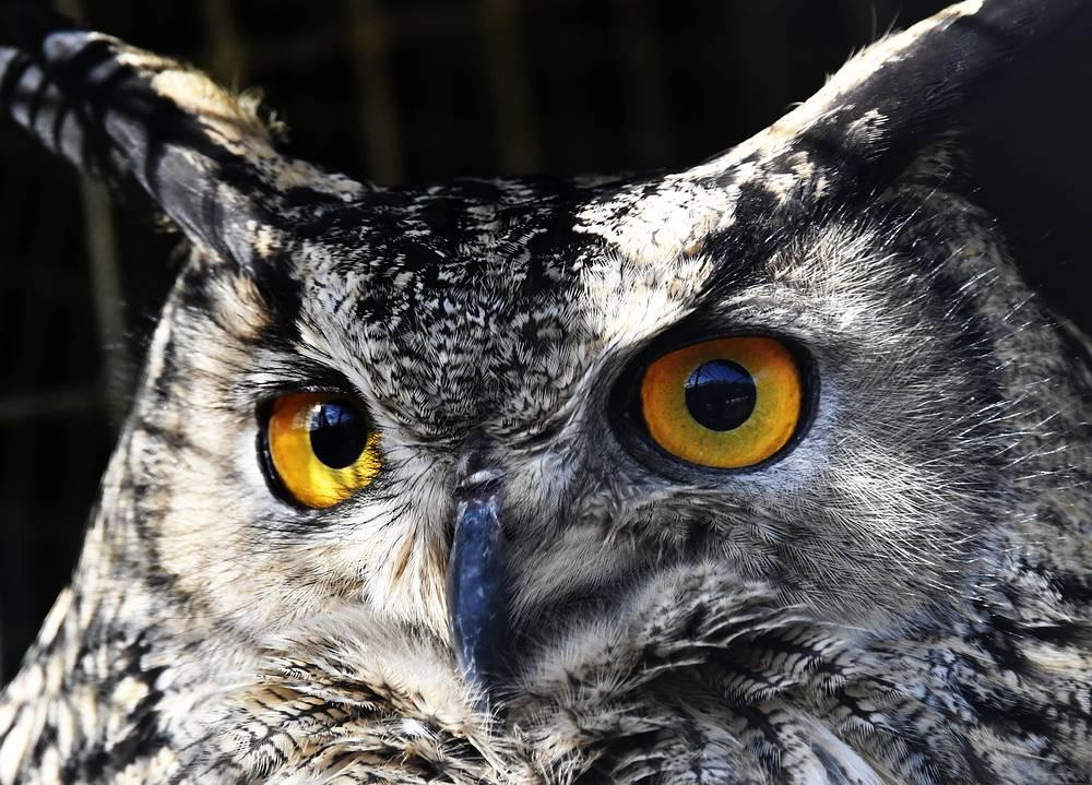 A Eurasian eagle-owl in an aviary at the Primorye Safari Park