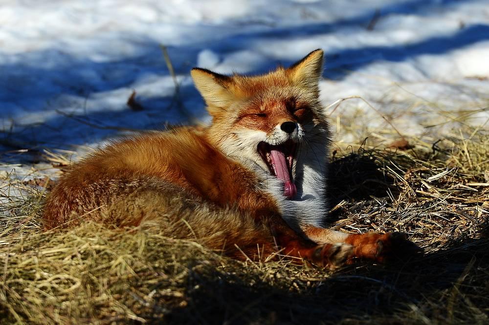 A fox named Alisa