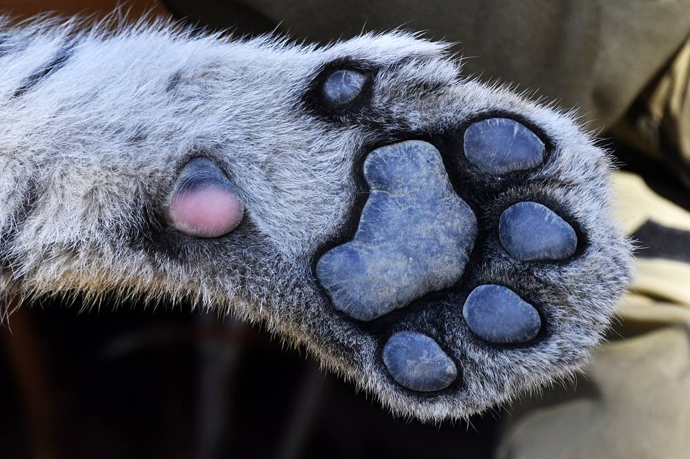 A paw of a Siberian tiger cub, Sherkhan