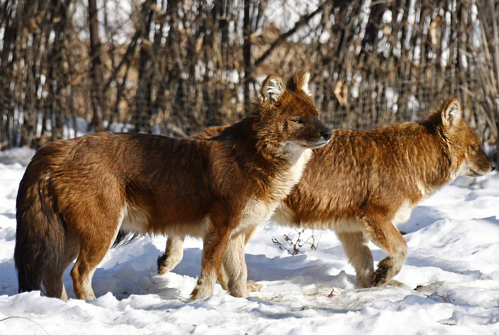 Dholes in an open enclosure of the park