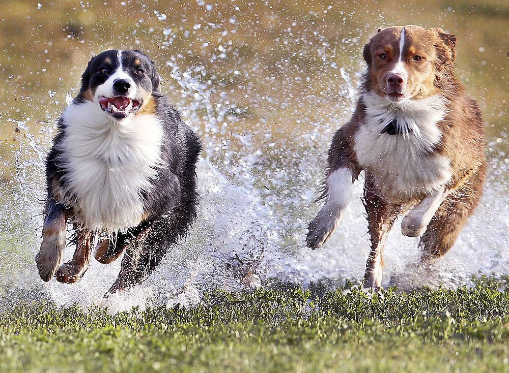 The two Australian shepherd dogs run over a wet meadow in a park in Frankfurt, Germany, March 13