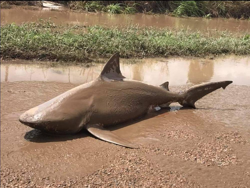 A bull shark washed up in a puddle following flooding in Ayr, Queensland, Australia, March 30