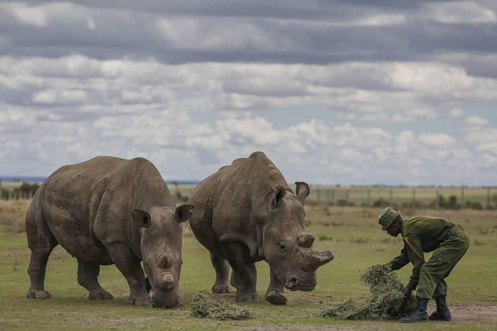 The last surviving two female northern white rhinos Najin (27) and Fatu (17) are fed by a caretaker at Ol Pejeta Conservancy near Nanyuki, some 200 kilometers north of Nairobi, Kenya, May 3