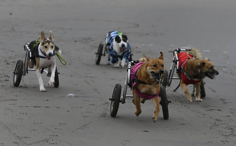 A group of paraplegic dogs run with the help of their wheelchairs on the Agua Dulce beach in the Chorrillos neighborhood of Lima, Peru, June 20