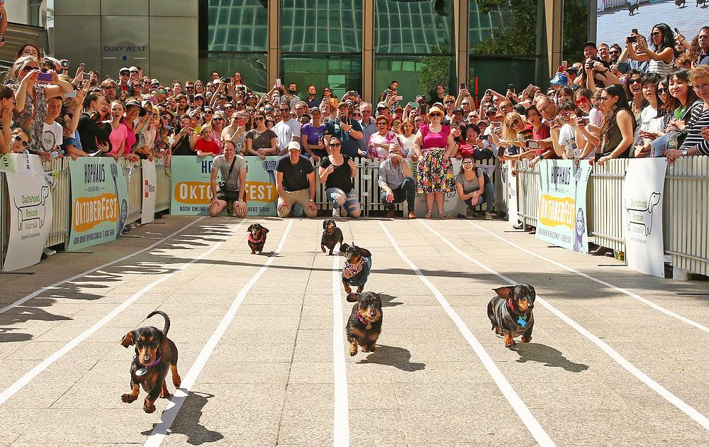 Mini dachshunds run as they compete in the annual Teckelrennen Hophaus Dachshund Race in Melbourne, Australia, September 23