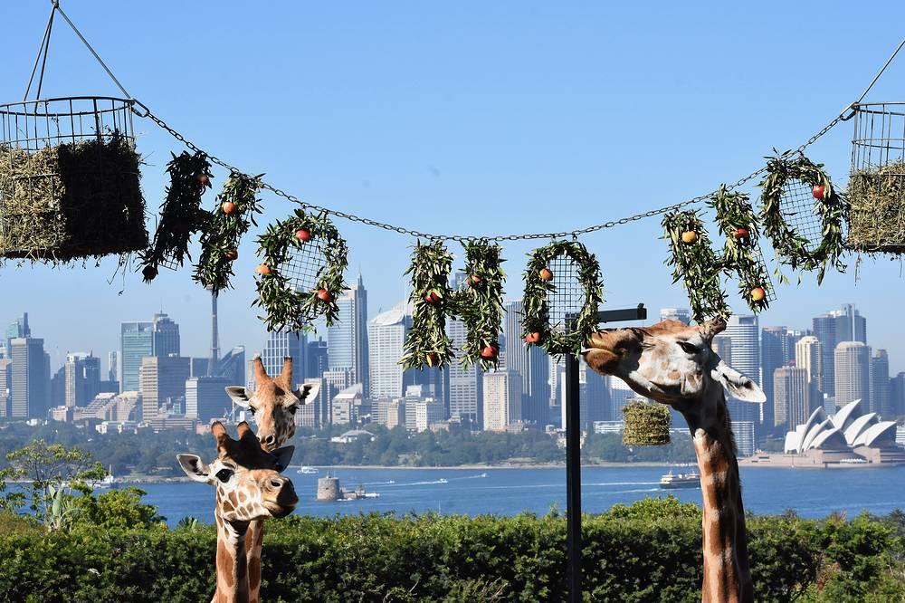 Taronga Zoo shows giraffes enjoying Christmas-themed treats at Taronga Zoo, Sydney, Australia, December 14