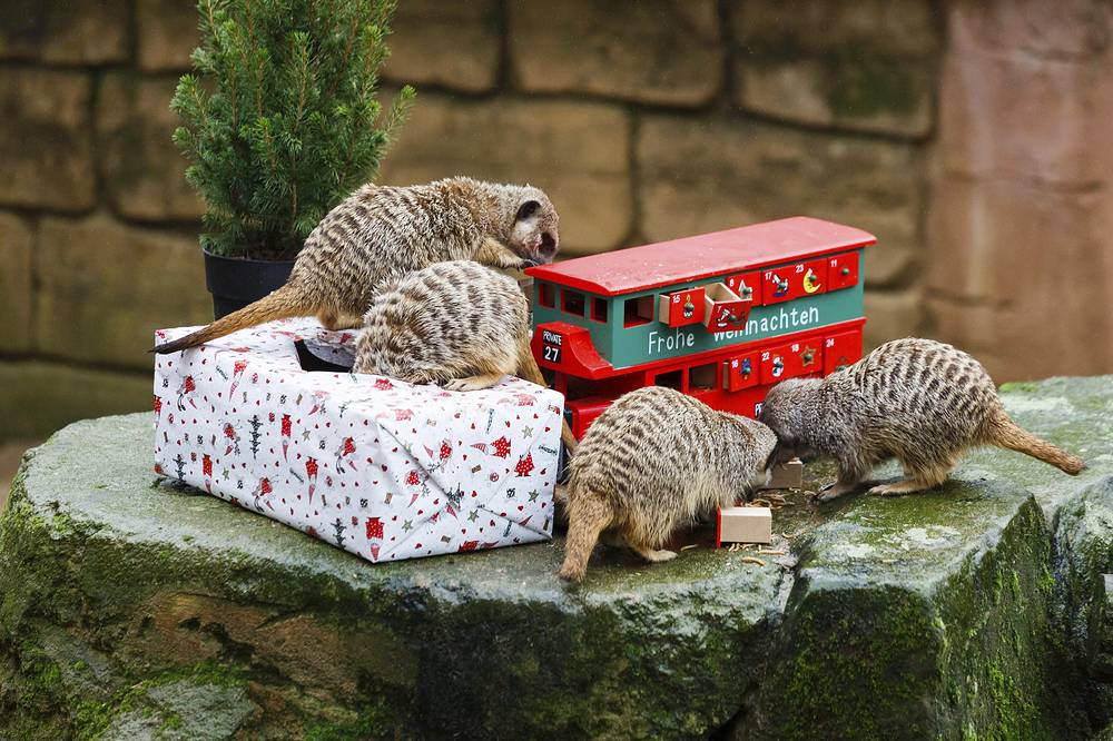 Meercats inspect their Christmas parcel and an Advent calendar filled with food at the zoo in Hannover, Germany