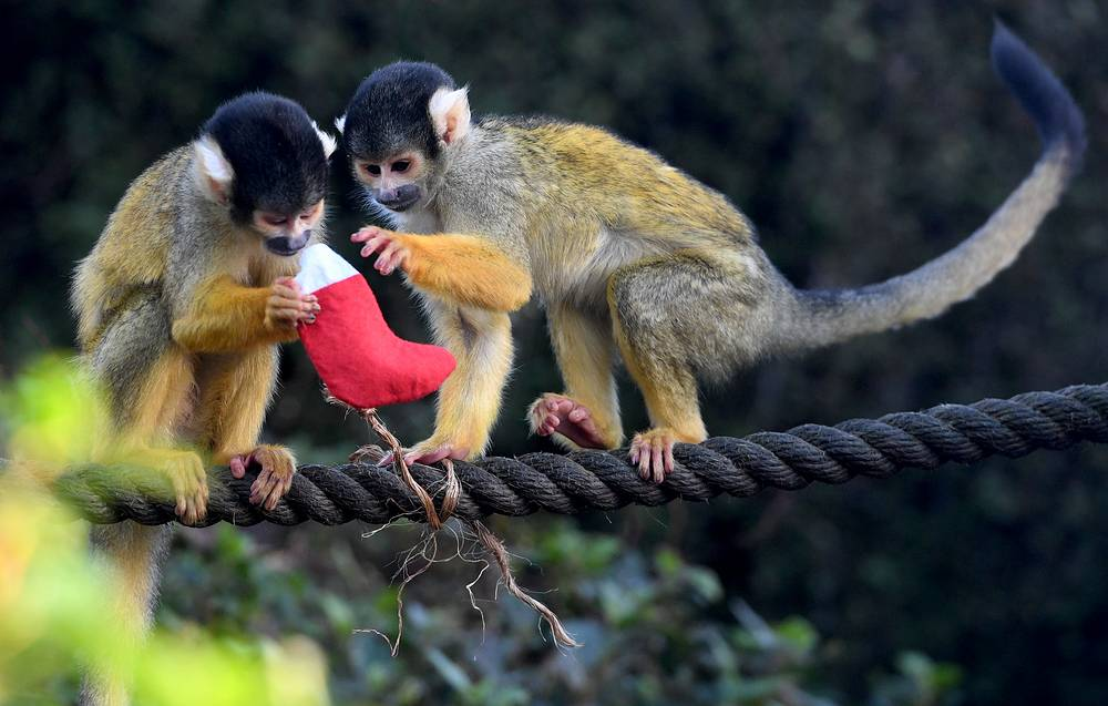 Squirrel Monkeys inspect their Christmas stockings at London Zoo
