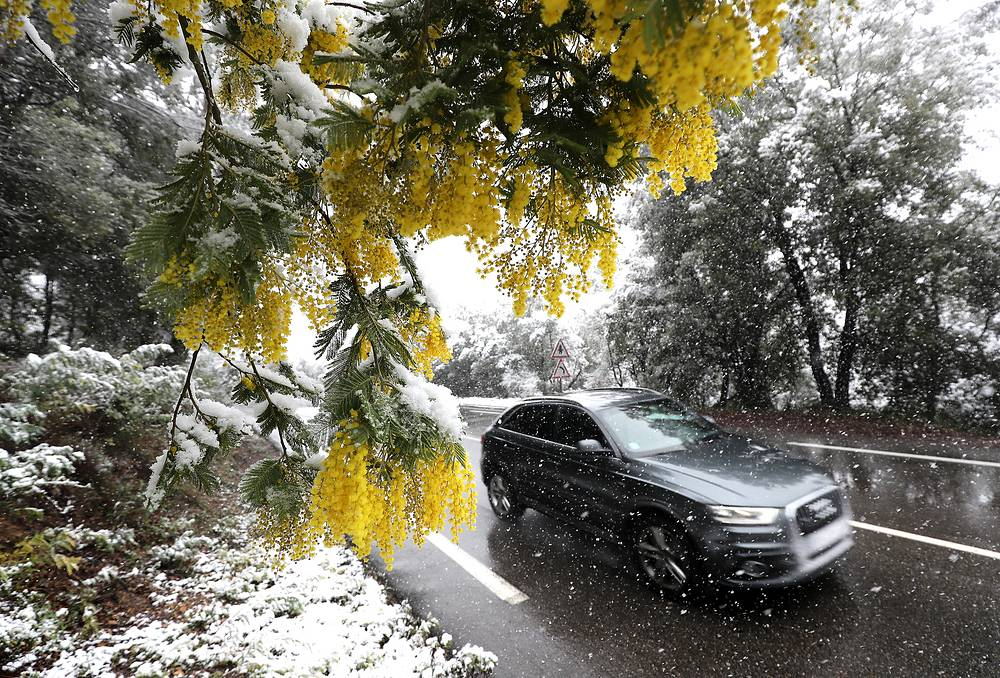 Mimosa branches are covered with snow in Valbonne, southern France