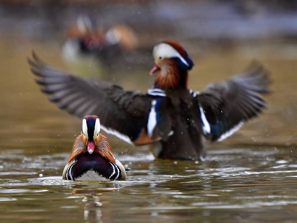 Mandarin ducks on the Solyonaya Protoka River outside Vladivostok, Russia, April 10
