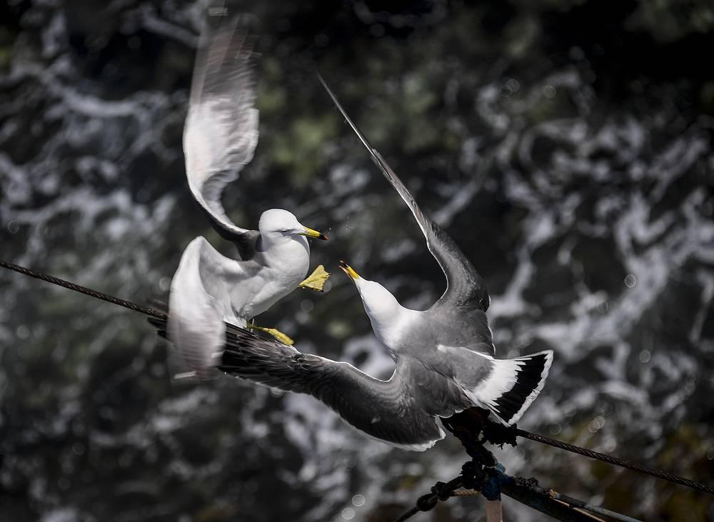 Slaty-backed gulls on the Basargin Peninsula, June 3