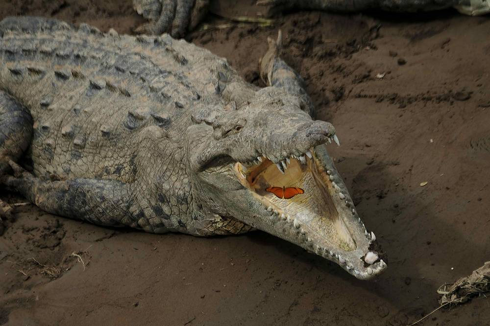 A butterfly flies into the jaws of a crocodile inhabiting the Tarcoles River, the most polluted basin in Central America and one of the most polluted in Latin America, in the place of Tarcoles, Costa Rica, June 5