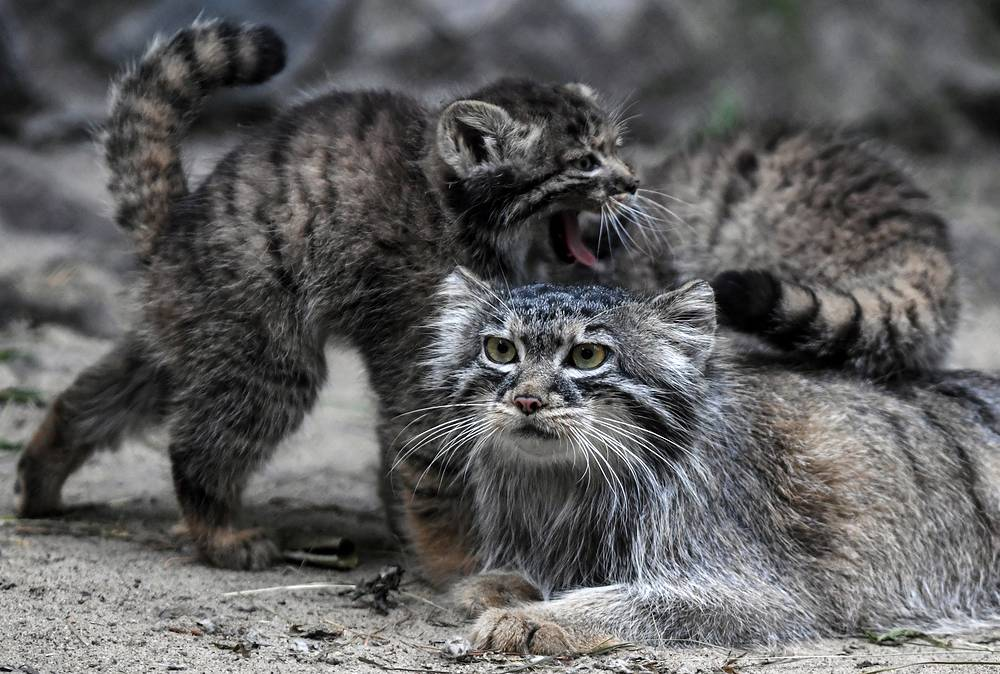 Pallas's cat kittens with theit mother in an enclosure at the Novosibirsk Zoo, July 11. Pallas's cat, also known as manul, is a small wild cat native to montane steppes of the Central Asia and listed as an endangered species