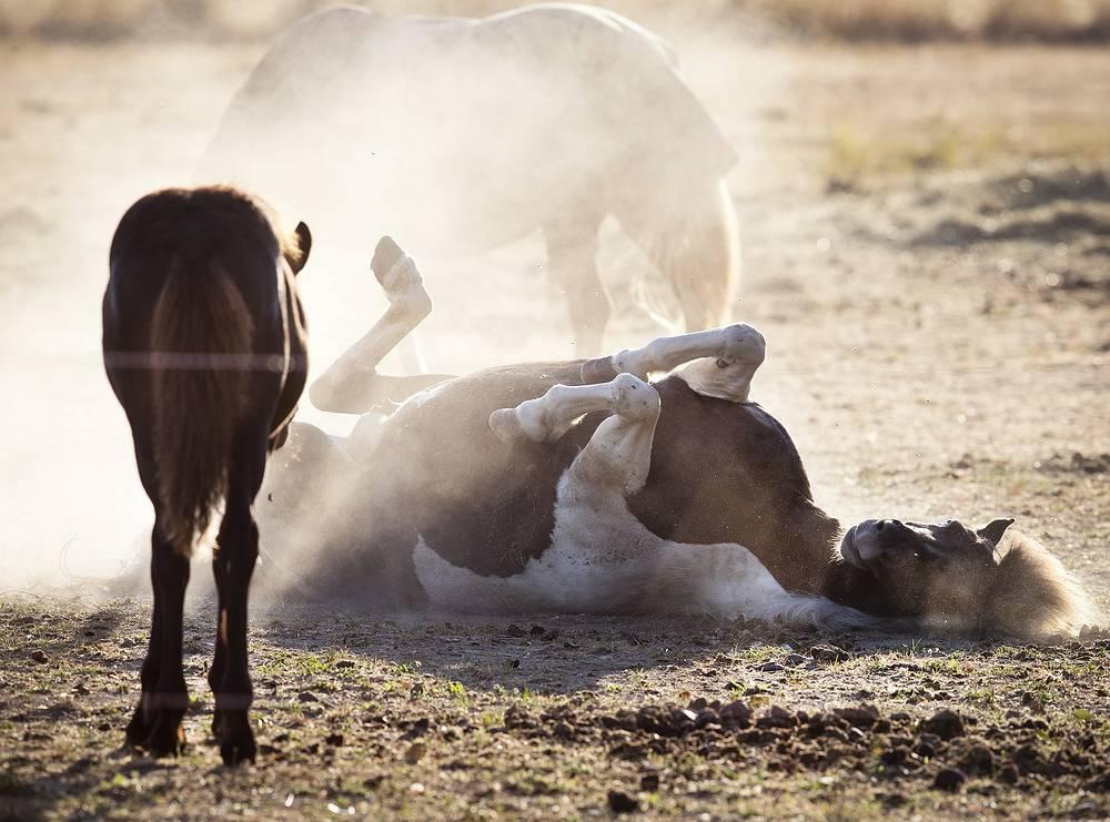 A horse rolls on a dry meadow after a long heat wave in Wehrheim near Frankfurt, Germany