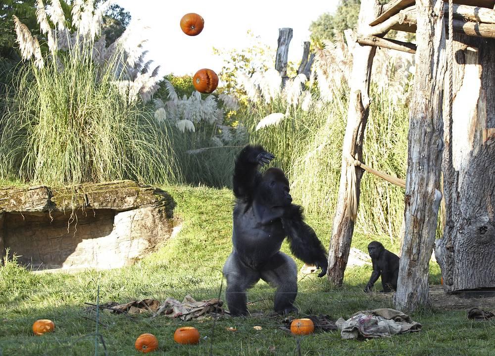 Bolivian black-capped squirrel monkeys, giraffes and gorillas enjoye spooky treats ahead of Halloween at London Zoo