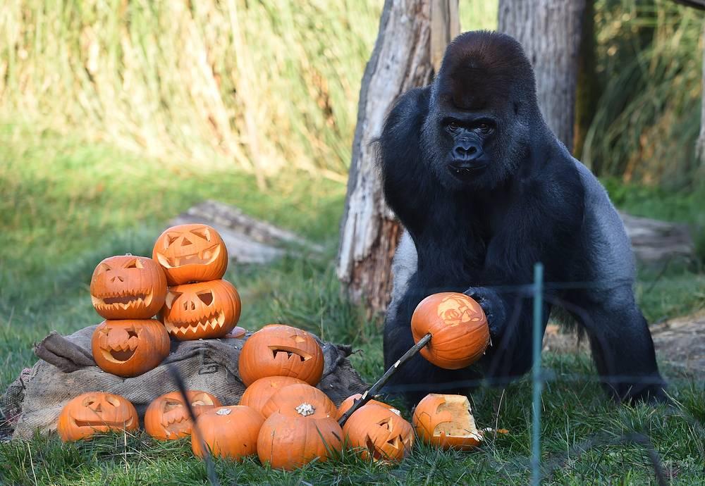 Kumbuka, the gorilla, picks up a pumpkin during a photocall at the London Zoo