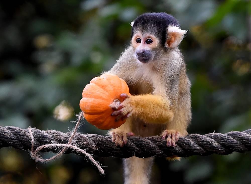 A Bolivian black-capped squirrel monkey grabs a pumpkin