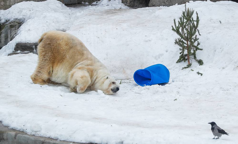 A polar bear is seen in its enclosure at the zoo