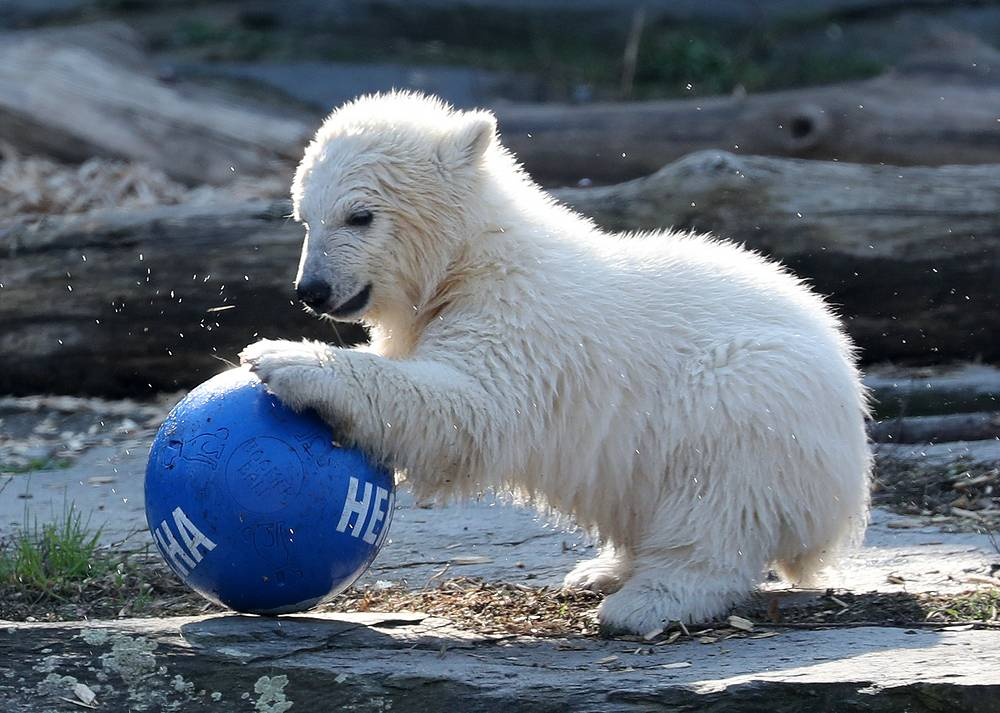 A little polar bear cub named Hertha playing with a ball in the outdoor enclosure of the Tierpark in Berlin, April 2
