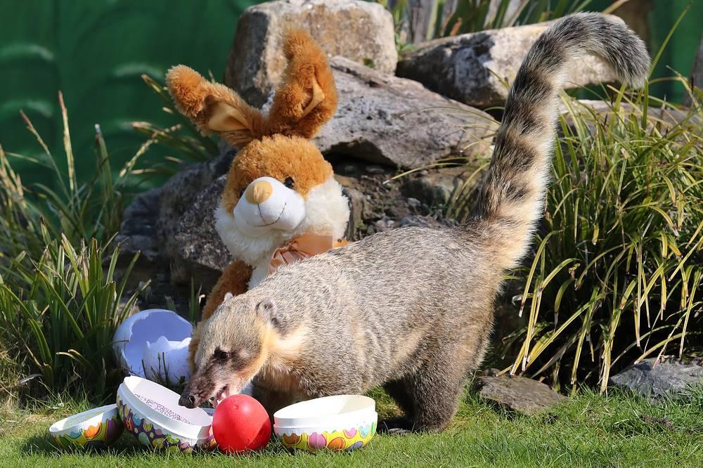 Coati Suelita enjoying its Easter treats