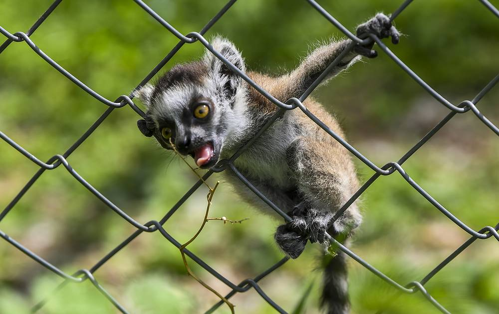 A baby lemur trying to get plant outside his enclosure during a sunny day at the Zoo in Skopje, April 25