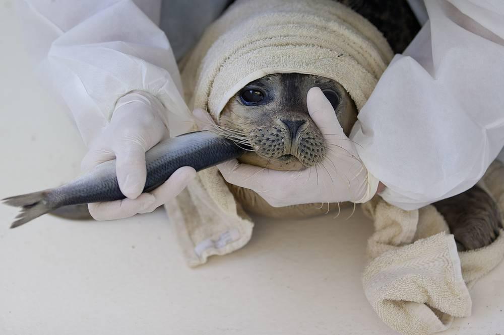 Одним из первых выступил против истребления бельков Международный фонд защиты животных. На фото:  волонтер кормит белька