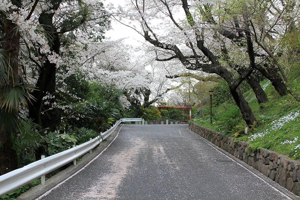 В 2014 году первые цветки на дереве сакуры появились в Японии 18 марта в парке у древнего самурайского замка в городе Коти на острове Сикоку