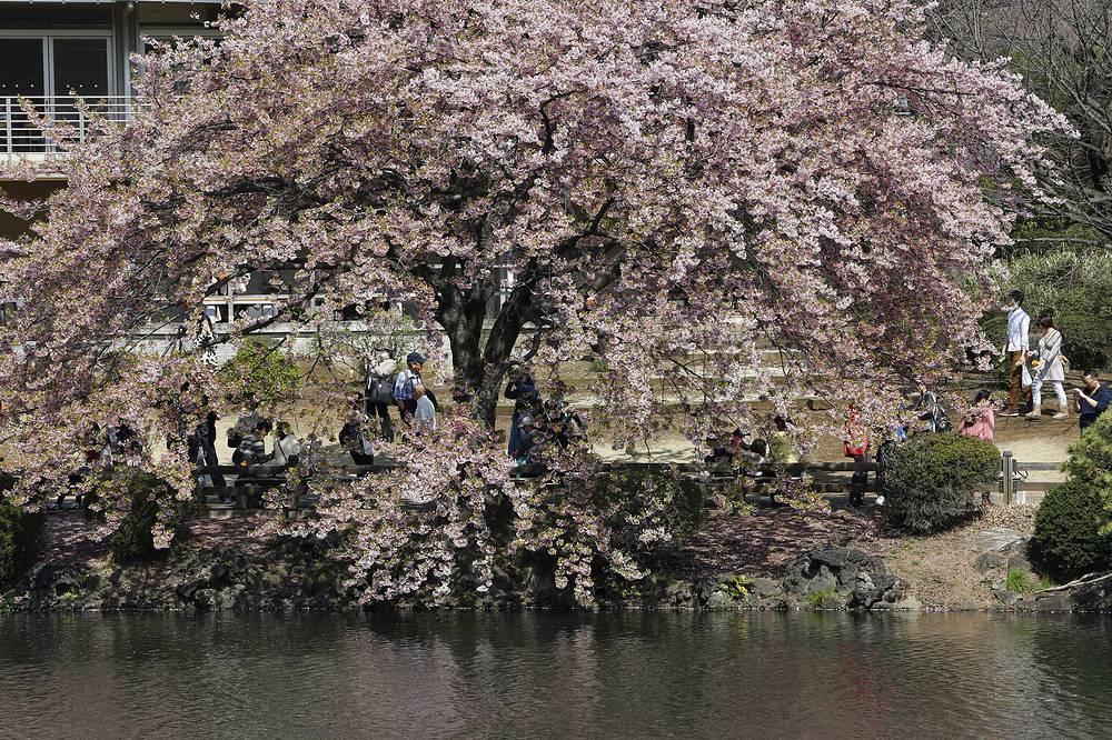 Первое упоминание о сакуре в японской литературе было сделано еще в 712 году н. э.