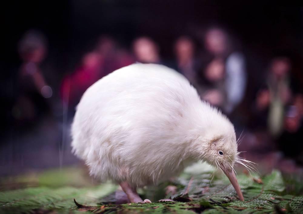 Белый киви в Центре дикой природы, Новая Зеландия
