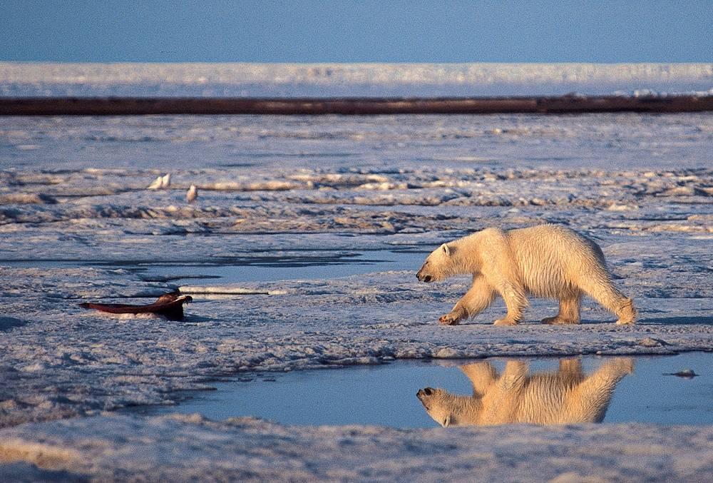 Белый медведь в Арктическом национальном заповеднике на Аляске