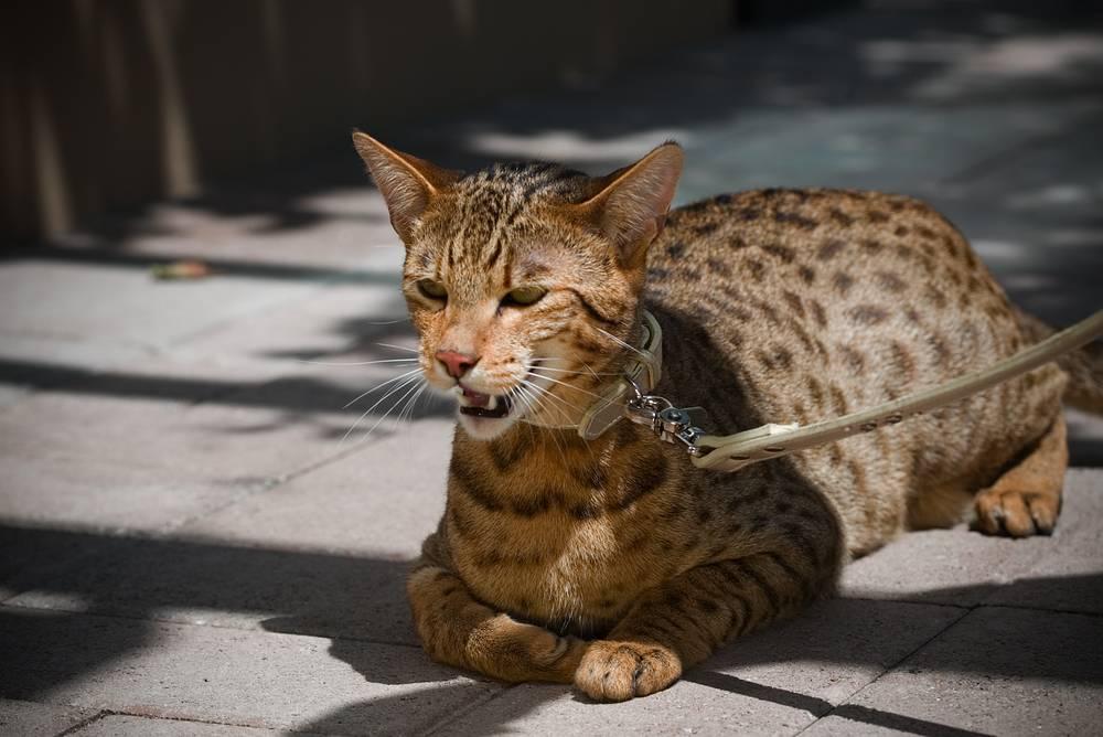 Одна из самых редких кошек в мире - ашера. Породу вывела американская компания Lifestyle Pets в 2007 году. Позднее, однако, выяснилось, что ашера является представителем классической породы саванна, выведенной в США в конце 1980-х годов. Первоначальная стоимость экзотических котят доходит до $27 тыс.