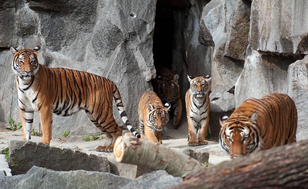 К началу XXI века в мире сохранилось шесть подвидов тигров - амурский, бенгальский, индокитайский, малайский, суматранский, китайский