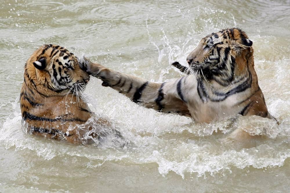 Охота на тигров запрещена во всем мире