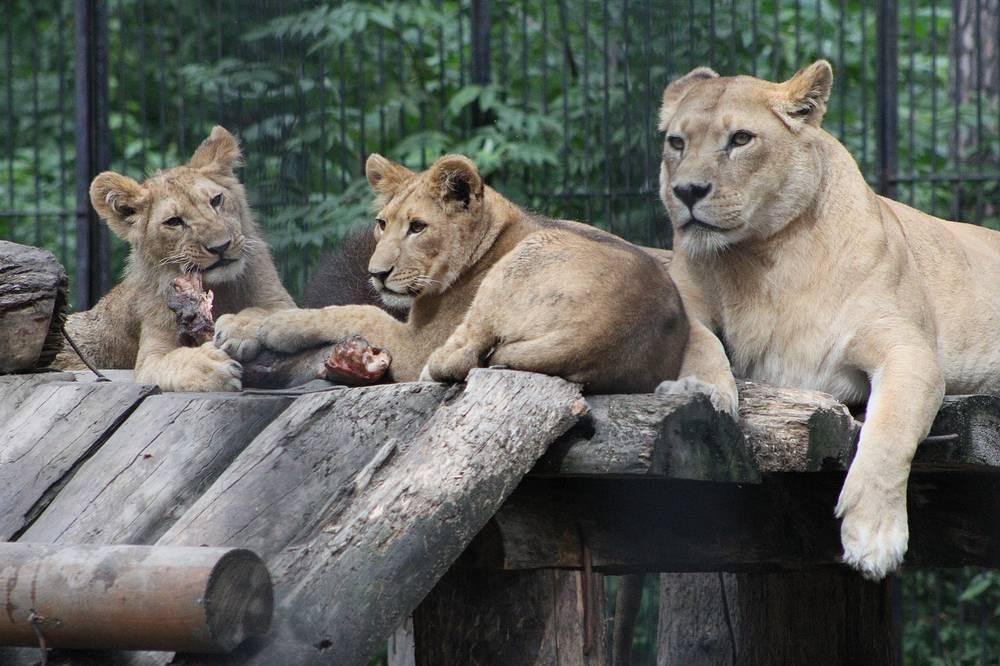 Африканским львятам Геркулесу и Олимпиаде скоро исполнится год