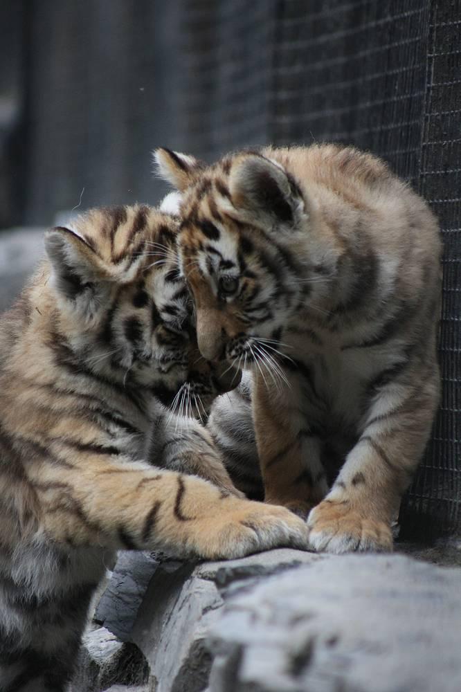 Когда они подрастут, то отправятся в другие зоопарки