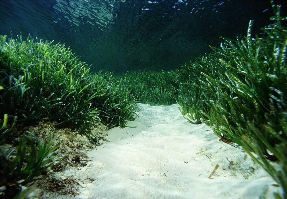 «Прерии» океанских водорослей «посидония» на Балеарских островах объявлены Достоянием человечества