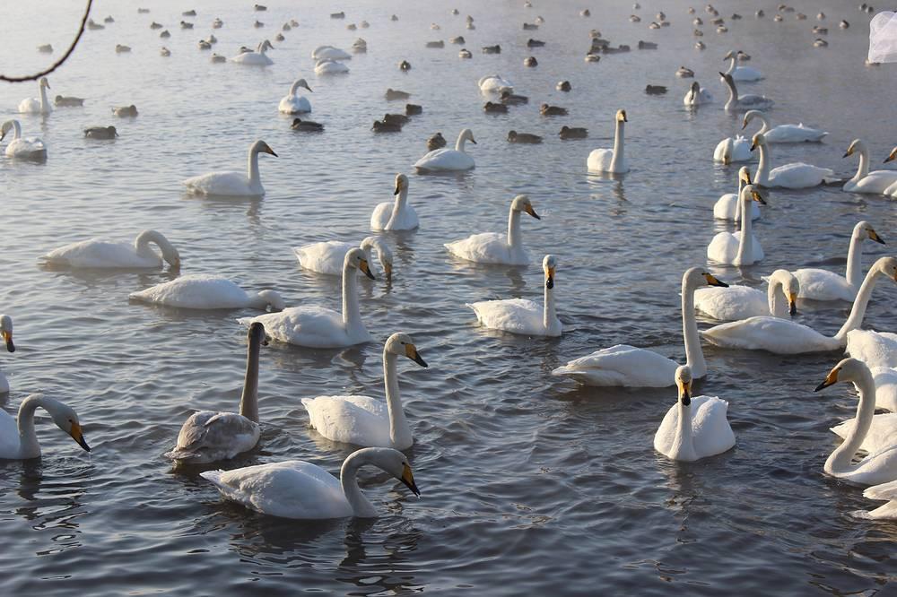 Зимовка лебедей на незамерзающем озере - один из центральных пунктов зимнего туризма в Алтайском крае
