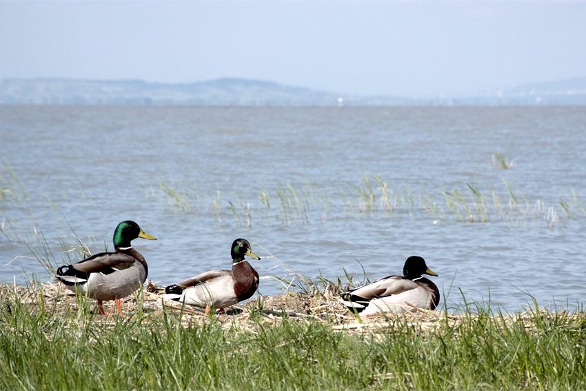 Озеро Нойзидлер-Зе в Австрии  - четвертое по величине озеро Центральной Европы. Равнинное солончаковое озеро является уникальным биосферным заповедником. К югу и юго-востоку от него расположены национальные парки: австрийский Нойзидлерзе-Зевинкель и венгерский Фертё-Ханшаг