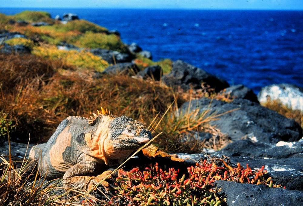 Галапагосские острова -  архипелаг в Тихом океане, принадлежащий государству Эквадор. Здесь обитает большое количество уникальных видов животных, в том числе Галапагосская черепаха и Галапагосский конолоф (на фото)