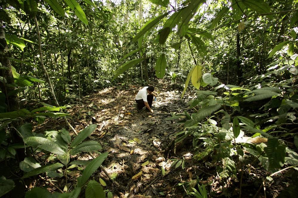 Дождевые леса Амазонии - самый крупный в мире тропический лес, который захватывает территорию девяти государств. Амазонские джунгли занимают 5,5 миллионов квадратных километров - половину общей площади оставшихся на планете тропических лесов