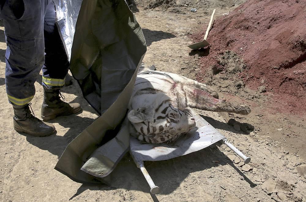 Среди животных, сбежавших из зоопарка, были также тигры. Некоторых хищников пришлось застрелить, так как они представляли угрозу для жизни людей. Один мужчина погиб из-за нападения тигра. Тбилиси, Грузия, 14 июня 2015 года