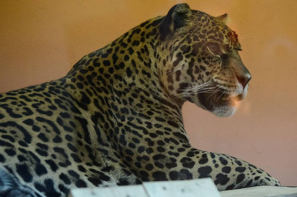 Ягуар Анта в вольере Екатеринбургского зоопарка
